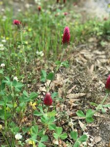 crimsonclover